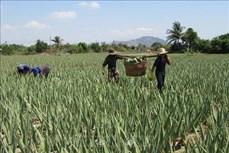 Nha đam Ninh Thuận bán chạy giữa mùa nắng nóng