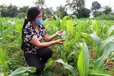 Cao Bằng: Giảm thiệt hại do sâu bệnh gây ra cho cây trồng vụ Đông Xuân