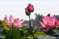 Sen hồng bung sắc giữa nắng gió Quảng Trị