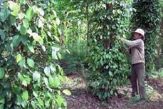Nông dân trồng hồ tiêu ở Phú Yên gặp khó khi chuyển đổi cây trồng