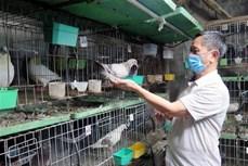 Nông dân Thuận Thành lãi cao từ mô hình nuôi chim bồ câu Pháp