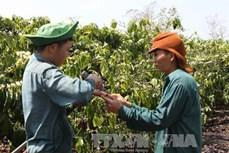 Trên 900 ha cà phê chè ở Lâm Đồng bị bọ xít muỗi tấn công