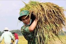 Lực lượng vũ trang Thừa Thiên-Huế hỗ trợ người dân thu hoạch lúa bị ảnh hưởng của mưa lớn