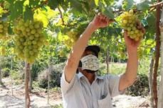 Ninh Thuận tăng cường hỗ trợ nông dân phát triển sản xuất, kinh doanh