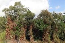 Toàn bộ diện tích rừng Cà Mau đang ở mức báo động cháy cao nhất
