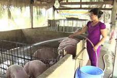 Tập trung tái đàn sau dịch tả lợn châu Phi
