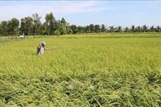 Nhân rộng mô hình sản xuất lúa thích ứng với biến đổi khí hậu