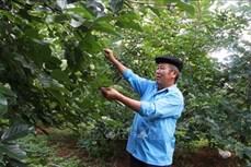 Triển vọng từ trồng cây ăn quả ôn đới với đồng bào vùng cao Mù Cang Chải