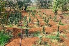 Đắk Lắk: Liên tiếp phát hiện 3 gia đình trồng cây cần sa trái phép