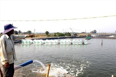 Quảng Nam: Thu nhập cao từ chuyển đổi ruộng muối kém hiệu quả sang nuôi tôm lót bạt