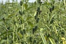 Vừng được mùa, được giá giúp nông dân Đồng Tháp tăng thu nhập