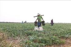 Biến đổi khí hậu: Chuyển đổi trên 3.500 ha lúa kém hiệu quả sang cây trồng khác