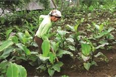 Kỹ thuật trồng và chăm sóc cây dong riềng