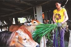 Thu nhâp cao nhờ nuôi bò thịt