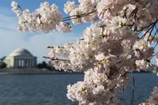 Lễ hội hoa anh đào ở thủ đô Washington, Mỹ