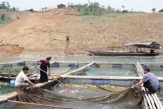 Hiệu quả từ mô hình nuôi cá lồng trên lòng hồ thủy điện Sơn La