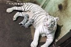 Lần đầu tiên nhân giống và nuôi dưỡng thành công hổ Bengal trắng tại Việt Nam