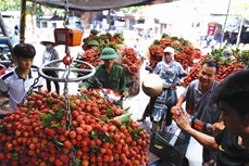 Tiêu thụ nông sản nhìn từ thành công của trái vải thiểu