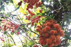 Phương pháp trồng và chăm sóc chôm chôm