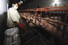 Kinh nghiệm chăn nuôi và chăm sóc lợn nái