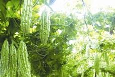 Kỹ thuật trồng cây mướp đắng