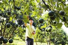 Trồng bơ ở Đắk Lắk cho hiệu quả kinh tế cao