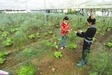 Kỹ thuật trồng cây măng tây
