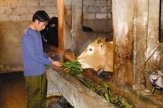 Kinh nghiệm nuôi bò vàng vùng cao