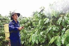 Chăm sóc vườn cà phê sau thu hoạch