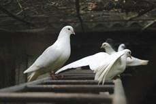 Phương pháp nuôi chim bồ câu