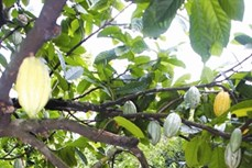 Kỹ thuật trồng cây ca cao