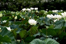 河内白莲花恣意绽放 吸引了当地居民和游客的眼球