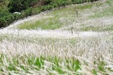 在日越南科学家发现须芒草在保健工作中的作用
