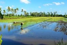 金瓯省:建设高质量水稻原材料生产基地