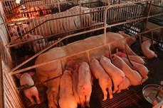 Ba Vì phát triển trang trại chăn nuôi lợn khép kín