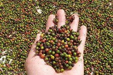 越南胡椒价格回升