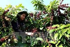 越南咖啡出口有望在2021年见起色