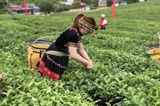 越南对中国和印度茶叶出口实现突飞猛进式的增长