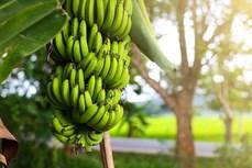 金瓯省多措并举提升香蕉产品价值