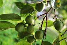 北件省经济效益高的农作物——无核红柿