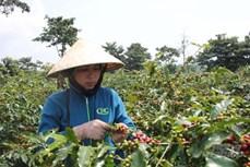 广治省的阿拉比卡咖啡产品在2021年越南特产咖啡比赛中荣获第一名