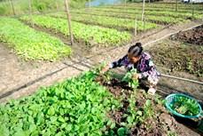 金瓯省富新县农作物种植模式取得高效