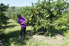 根据越南标准种植橙子