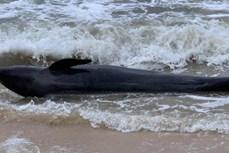 富安省:重达300公斤的鲸鱼冲上遂和海岸