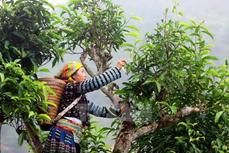 宣光省纳杭雪山茶叶获得地理标志产品保护认证书