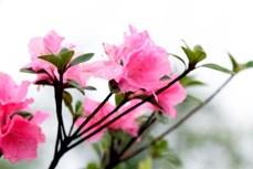 """Trung Quốc phát hiện giống hoa đỗ quyên đã """"mất tích"""" nhiều thập kỷ"""