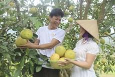 Hướng đi mới cho cây bưởi đặc sản Phú Thọ
