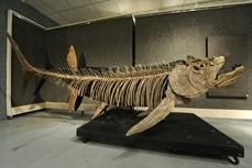 Phát hiện hóa thạch cá khổng lồ 70 triệu năm tuổi