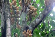 Thanh Hóa nhân giống thành công 7.600 cây rau Sắng quý