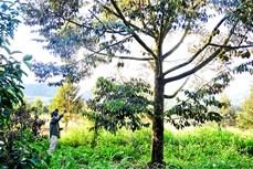 Sầu riêng đặc sản Khánh Sơn được mùa